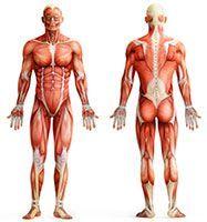 Muskelaufbau beim Menschen