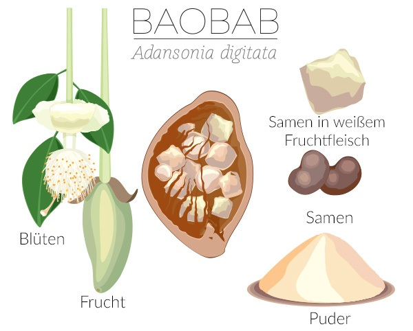 Baobab Infografik mit Blüten, Frucht, Samen und Puder