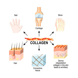 collagen-main-structural-protein-connective-tissues