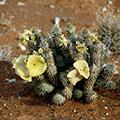 Hoodia gordonii als natürlicher Appetitzügler