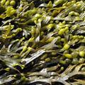 Fucus Vesiculosus Extrakt als Inhaltsstoff zur Gewichtskontrolle