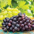 Zwei Reben eine mit roten Trauben und eine mit grünen Trauben im Hintergrund mit Weinblättern